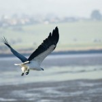 gal-7-white-bellied-sea-eagle