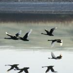gal6-black-swans
