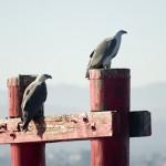 gal-4-white-bellied-sea-eagles