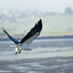gal-7-white-bellied-sea-eagle
